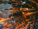 Карпы в пруду