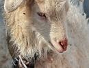 Достопримечательность гостевого дома - коза Глаша